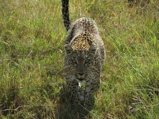 Kicheche Bush Camp: A baby leopard