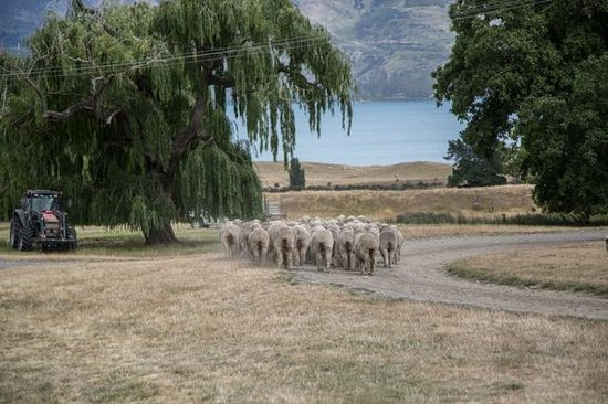 Lake Hawea Station: Sheep along road near Packhorse Cottage