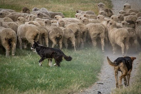 Lake Hawea Station: Sheep & dogs