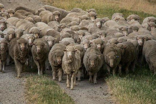 Lake Hawea Station : Sheep
