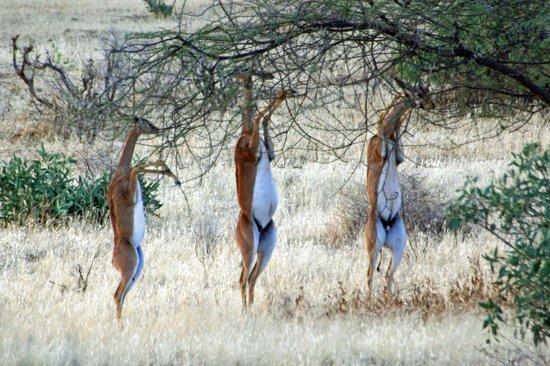 Shaba National Reserve : Three Gerenuk (giraffe-necked antelopes)