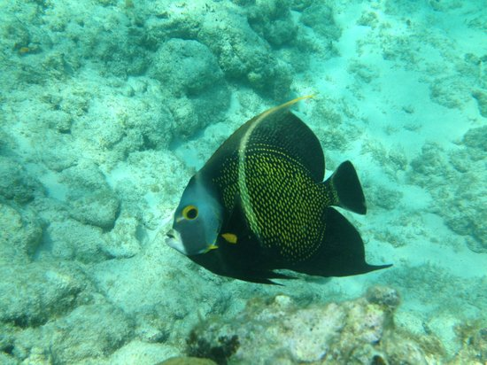 Discovery Point Club : French Angelfish in front of Discovery Point