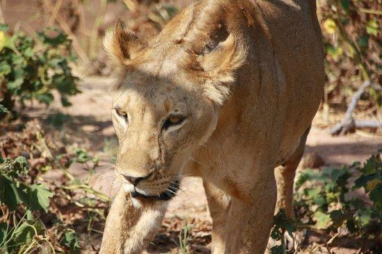 Shaba National Reserve : Lion near river