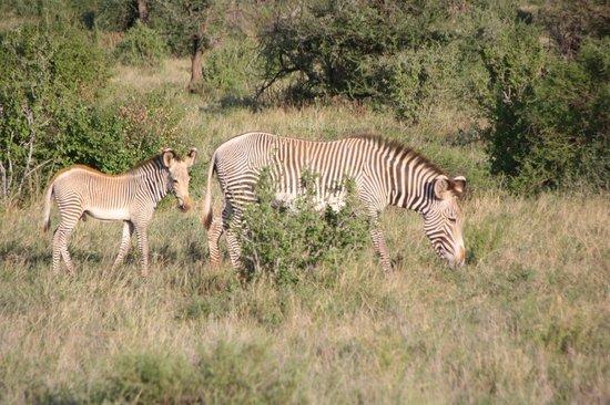 Shaba National Reserve : Grevy's Zebra