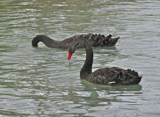 Novotel Rotorua Lakeside: Black swans