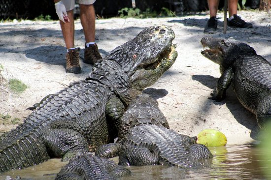 Naples Zoo at Caribbean Gardens: There was an alligator talk and demonstration which was very informative