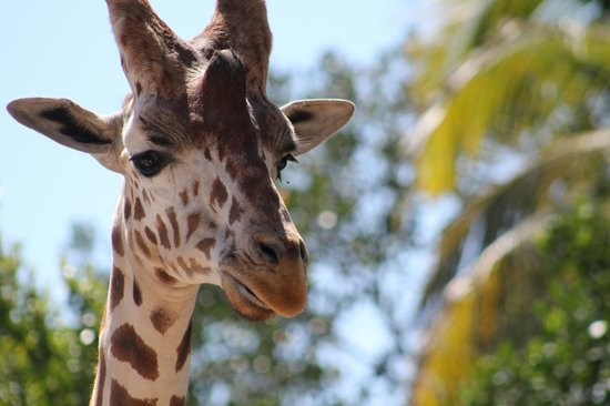 Naples Zoo at Caribbean Gardens: One of the giraffes
