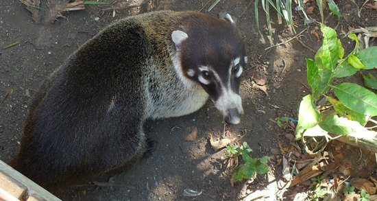 Hotel Las Orquideas: We loved the coatis