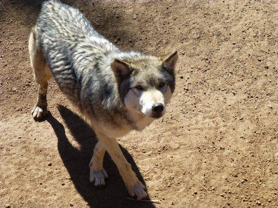 Colorado Wolf and Wildlife Center : Breathtaking encounter