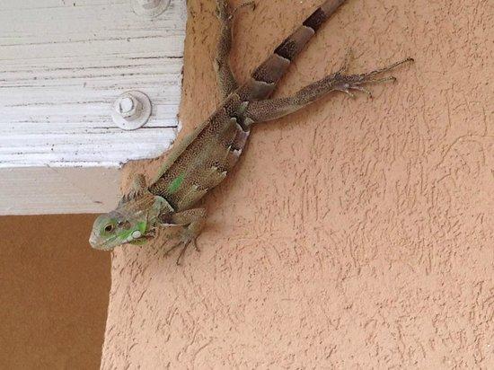 Divi Village Golf and Beach Resort: A gecko climbing to our 3rd floor balcony