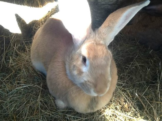 Broekhaven Country Cottage : See our Flemish Giant Rabbits