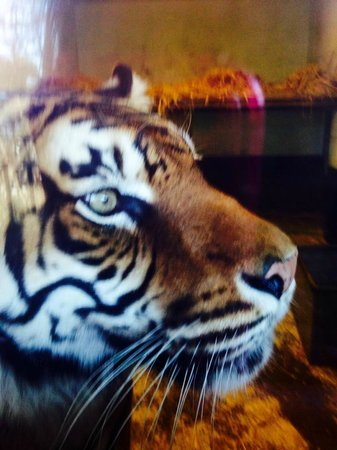 Welsh Mountain Zoo: tiger