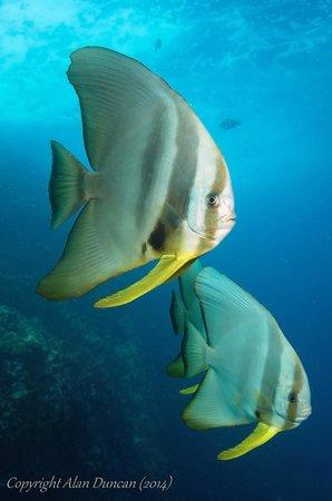 The Dive Inn: Sub-adult Teira Batfish
