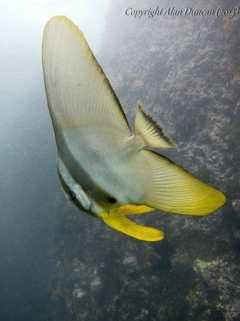 The Dive Inn: A young Teira Batfish