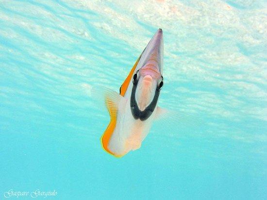 Faraana Reef Resort : pesci farfalla curiosi a riva