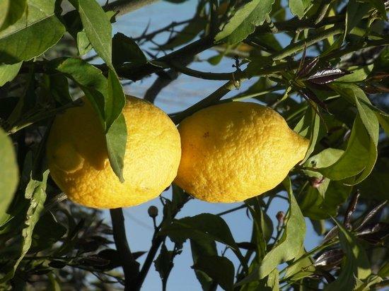 Villa Iz: Two lemon from a tree at the garden of the Villaiz