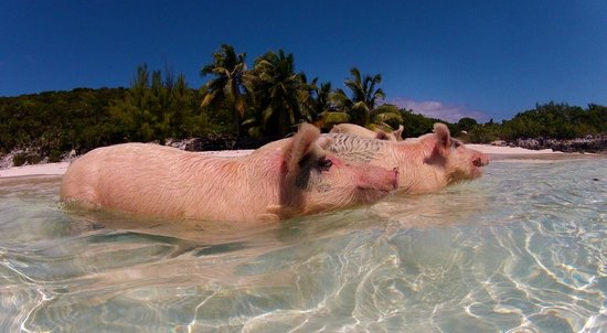 Grand Isle Resort & Spa: The Swimming Pigs
