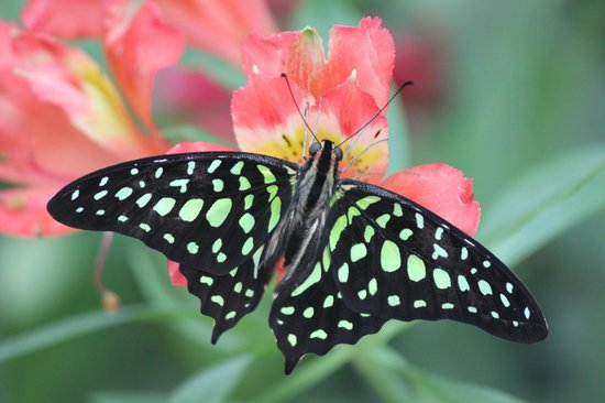 Butterfly Rainforest: Tailed Jay