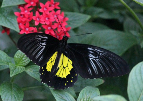 Butterfly Rainforest: Common Birdwing