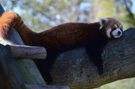 Virginia Zoological Park - Red Panda