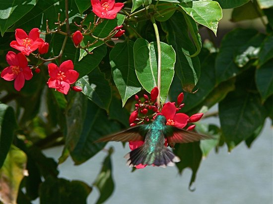 Saint George Parish, La Grenade : Hummingbird, Rex grounds