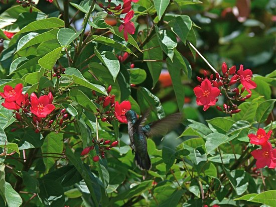 Saint George Parish, Grenada: Hummingbird