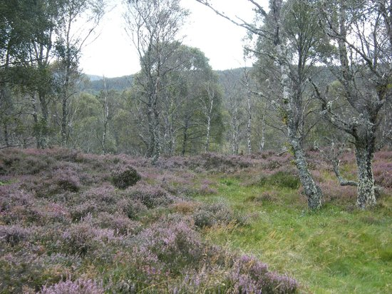 Muir of Dinnet National Nature Reserve: Heather along the walk to the loch side