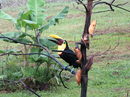 Maquenque Eco-Lodge : Toucan comes to restaurant during breakfast