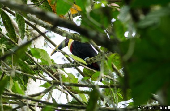 Tirimbina Biological Reserve : The toucan that distracted us!
