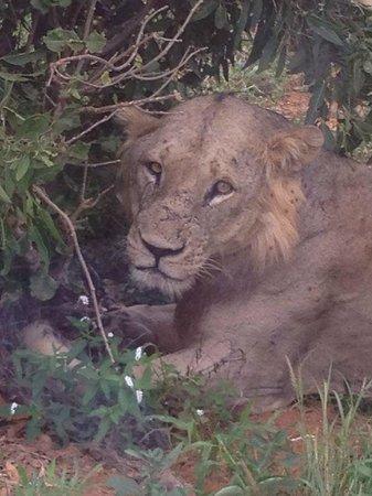 Crystal Bay Resort: the Lion