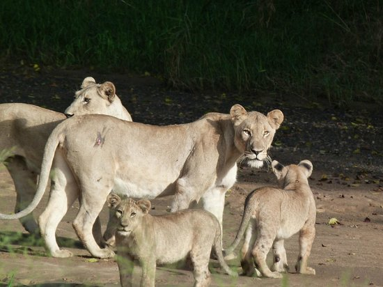 Rhino River Lodge: lioness and cubs taking a stroll along river bed