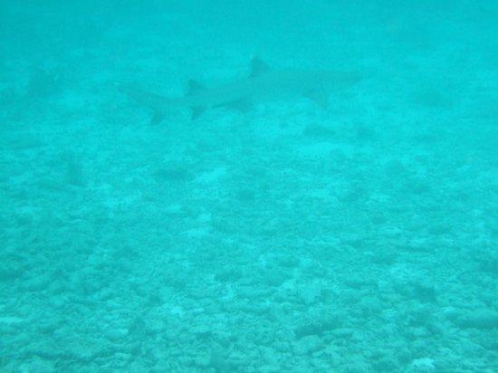 Diamonds Thudufushi : busy reef shark