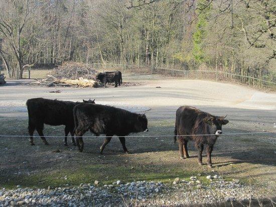 Tierpark Hellabrunn: bison