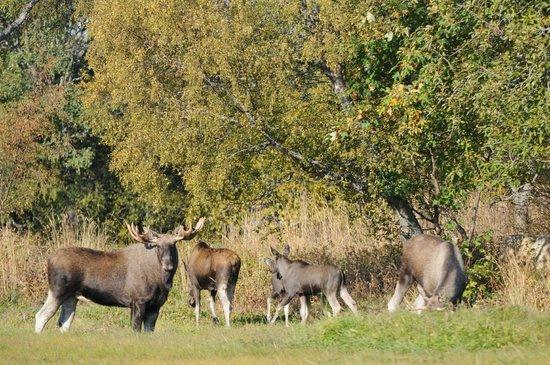 Evje, Norway: Moose family