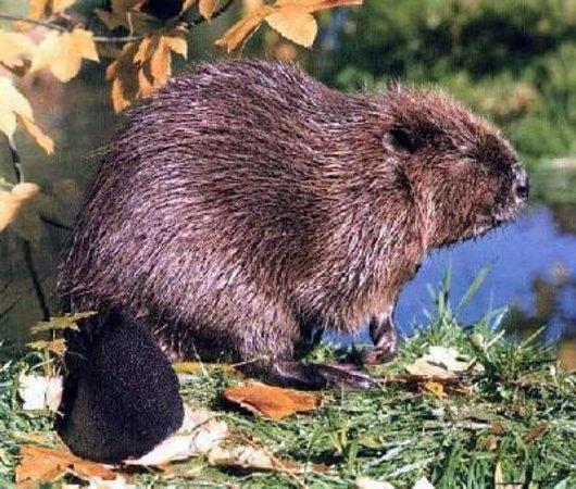 Evje, Norway: beaver