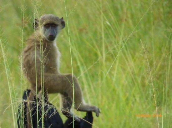 Shinde : baboon