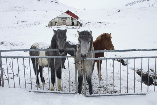 Iceland Guided Tours: Icelandic Horses