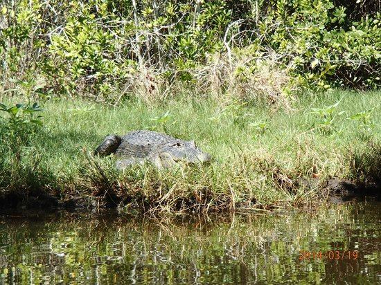 Tour the Glades - Private Wildlife Tours: Sunning gator who launched into the water