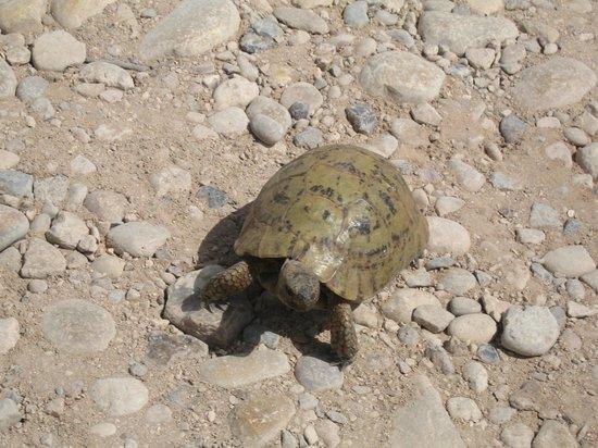 Villa Gonatouki : Tortoise nearby