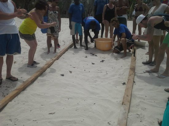 Amani Tiwi Beach Resort : Turtle release