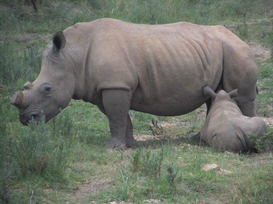 Botlierskop Private Game Reserve: Baby Rhino suckling.