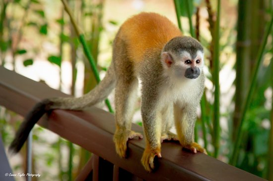 The Preserve at Los Altos: Squirrel Monkey arrived for breakfast