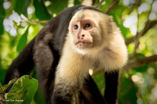 The Preserve at Los Altos: Capuchin Monkey