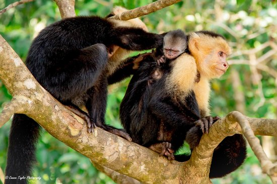 The Preserve at Los Altos: Capuchin Monkey family