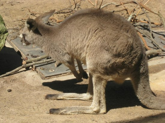 Busch Gardens: Kangaroos had their own spot not inside the Safari, as did many other animals