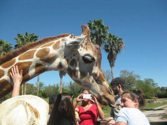 Busch Gardens: Feeding the giraffe