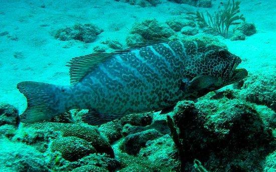 Cayman Diveshuttle Ltd: Grouper