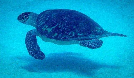 Cayman Diveshuttle Ltd: Turtle