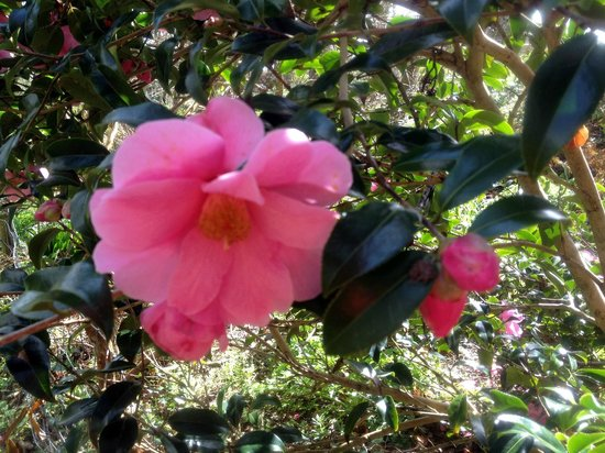 Cove Cottage : Camellia's everywhere