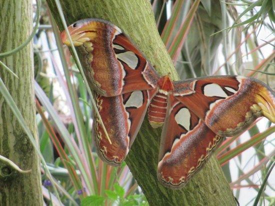 Tucson Botanical Gardens : Atlas Moth